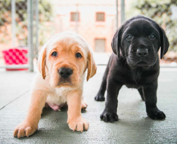 Guide Dogs puppies come to the Marly - Image